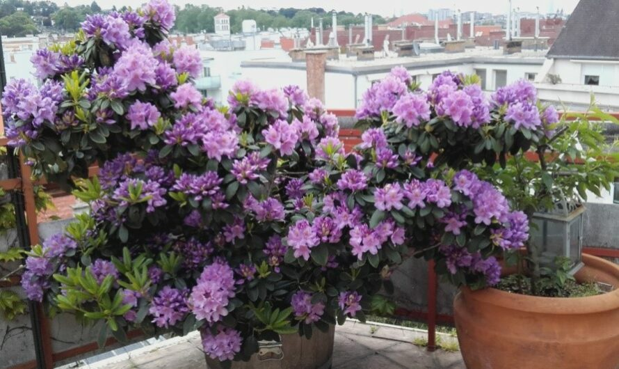 Der Rhododendron